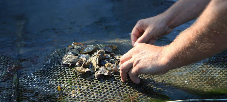 Ostréiculteur retournant une poche d'huître à Cancale, en Bretagne